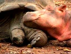 Best friends tortoise and rhino sleeping together