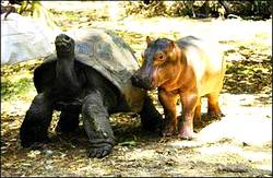 tortoise and rhino walking along close together