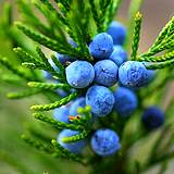 photo of fresh juniper berries a good natural source to relieve flatulence