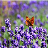 photo of a butterfly with herbal wisdom visiting a field of lavender