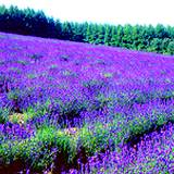 a beautiful field of lavender flowers