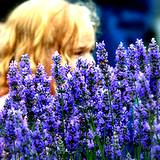 a blonde haired girl peeking through a field of lavender flowers
