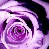 a photo of a lavender rose