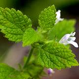 photo of a lemon-balm plant in bloom
