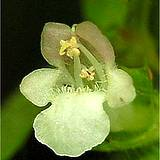 photo of a lemon balm blossom makes delicious medicinal tea