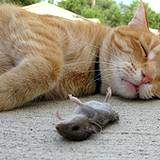 photo of a dead mouse laying beside a sleeping cat natures natural pest control