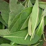 fresh mullein leaves