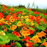a photo of a field of edible nasturtium
