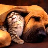 A content kitten nestled under a hound dogs ear after using natural flea pest  control remedy