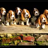 7 beagle pups sitting on a barn ledge after getting a natural flea pest control remedy