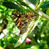 photo of a butterfly resting on a branch filled with olive leaves width=