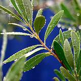 photo of olive leaves with dew resting on them