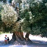 photo of a very old olive tree