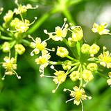 a closeup photo of yellow parsley flowers
