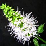 photo of a peppermint plant blossom looking ready to making peppermint tea