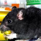 photo of a large black rat
