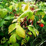 Red raspberry plant is a common medicinal herb.