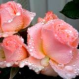 photo of pink roses with dew drops
