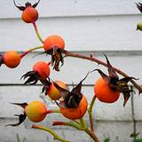 photo of ripe rose hips ready for picking to make rose hip tea