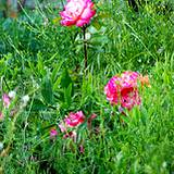 a photo of pink wild roses growing