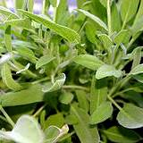 photo of close-up of fresh sage to make sage tea