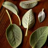 photo of sage leaves drying on a wooden table to make sage tea