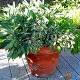 photo of a potted sage plant to make sage tea