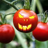 photo of growing tomatoes with evil carving blamed for salmonella outbreak in U.S. in 2008