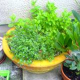 tyme, mint and parsley growning in one container