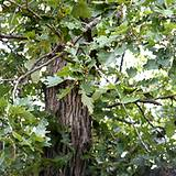White oak is an important medicinal herb to have on hand.