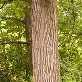 photo of a white oak bark tree a natural herbal remedy for gingivitis