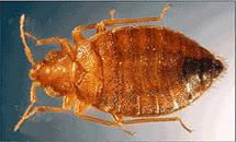 photo of a closeup of a bed bug