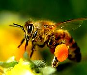 A honeybee gathering honey for the benefits of Apple Cider Vinegar Tonic