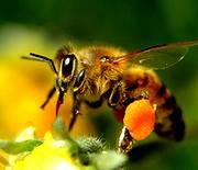 A honeybee gathering honey for the benefits of Apple Cider Vinegar Tonic