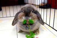 photo of a cute little long eared rabbit with a parsley mustache